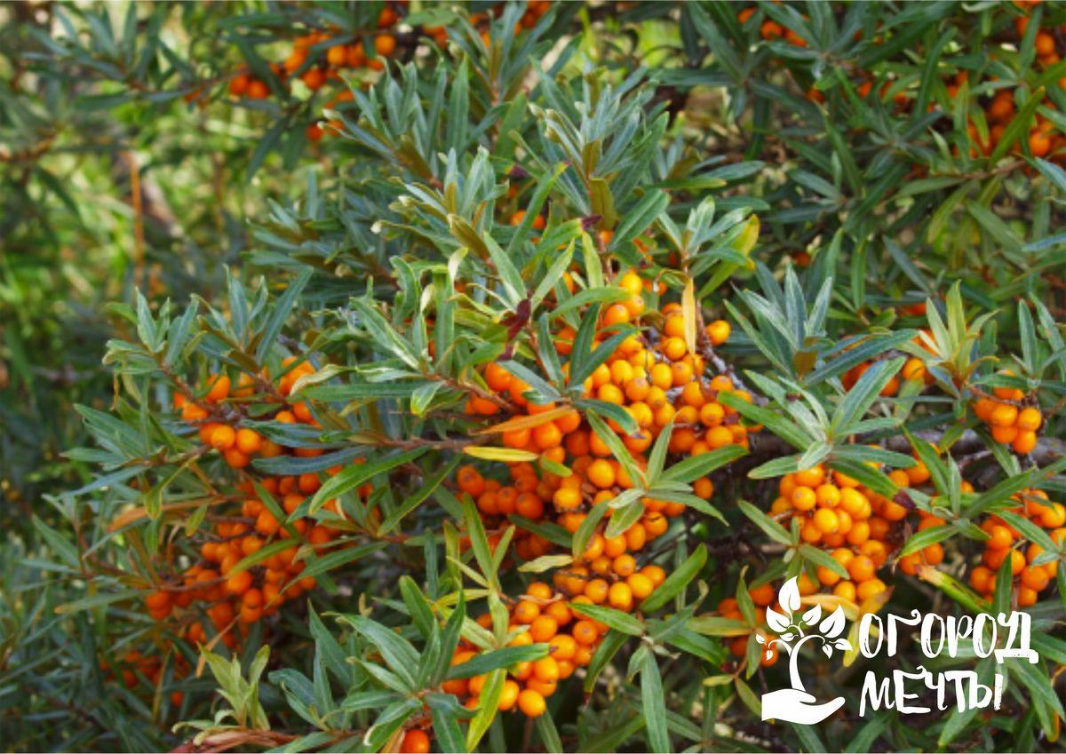 Чтобы плодовый сад снова порадовал хорошим урожаем, нужно позаботиться о нем осенью! Правила ухода за кустарниками в саду в сентябре