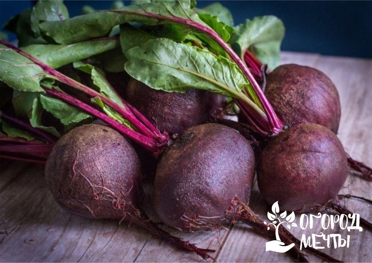 Наступила осень - готовьтесь к подзимнему посеву свеклы! Лучшие сорта свеклы, которые можно посеять на грядках под зиму