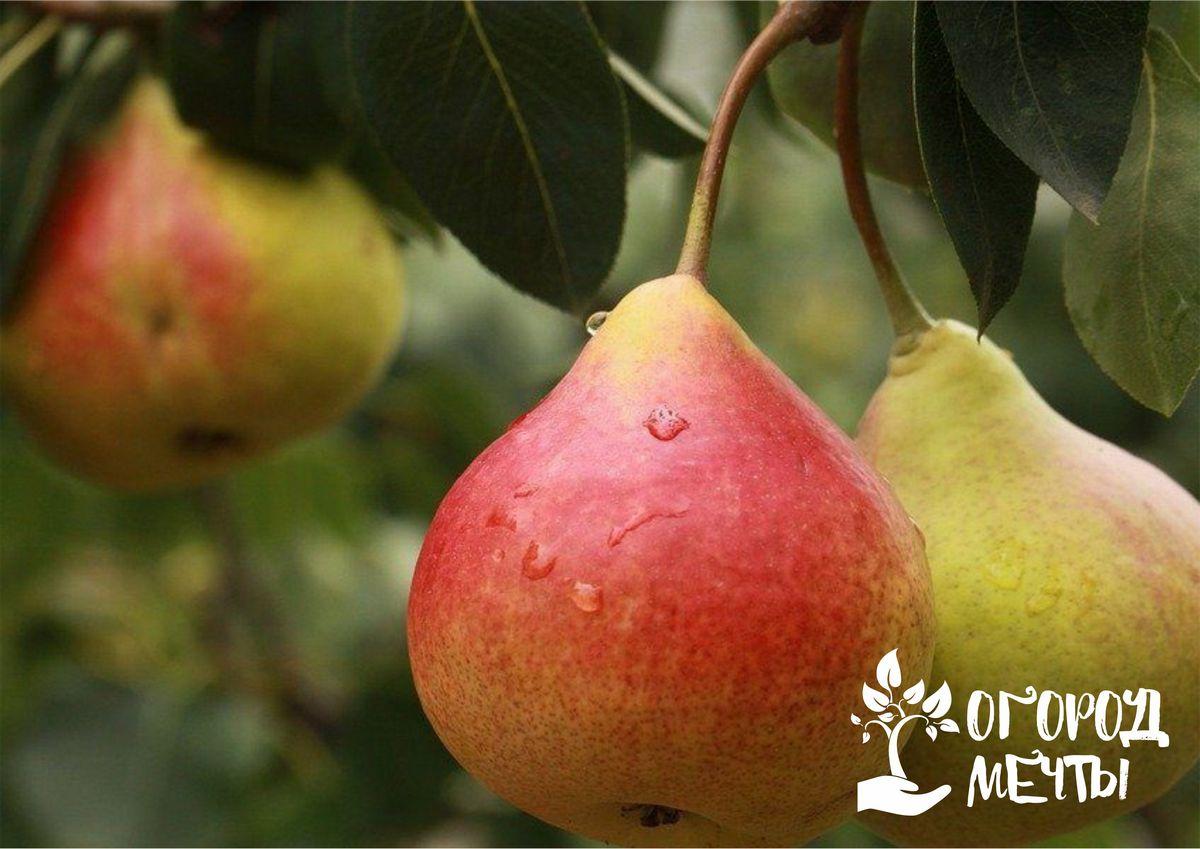Чтобы есть вкусные груши всю осень и зиму, посадите в саду эти урожайные зимние сорта! Лучшие сорта зимних груш для вашей дачи!