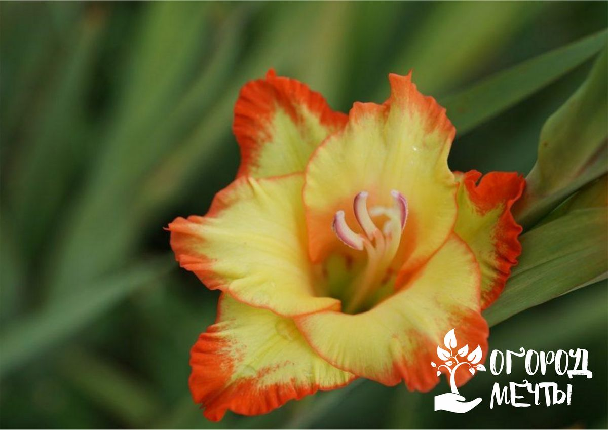 Хотите добиться эффектного цветения гладиолусов на клумбе в следующем сезоне? Узнайте, как и где нужно хранить их луковицы!