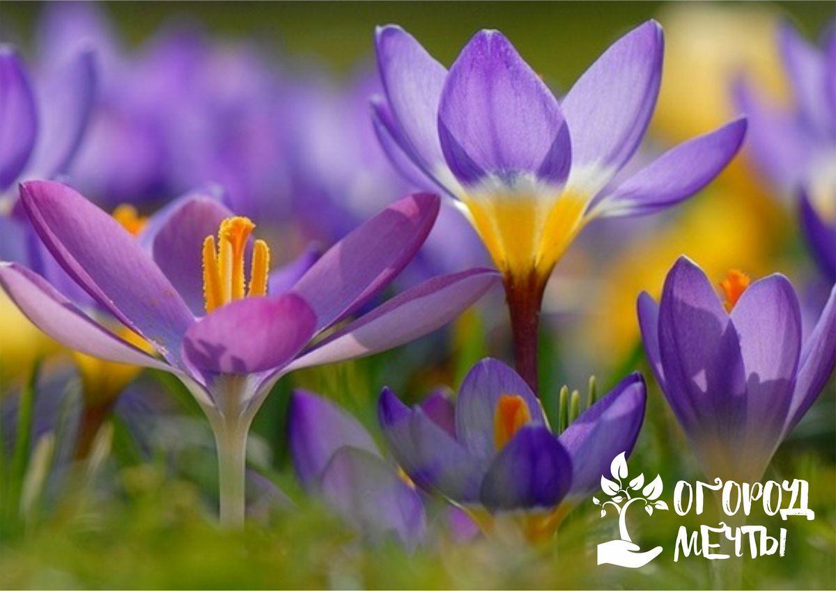 Топ-7 луковичных цветов для осенней посадки
