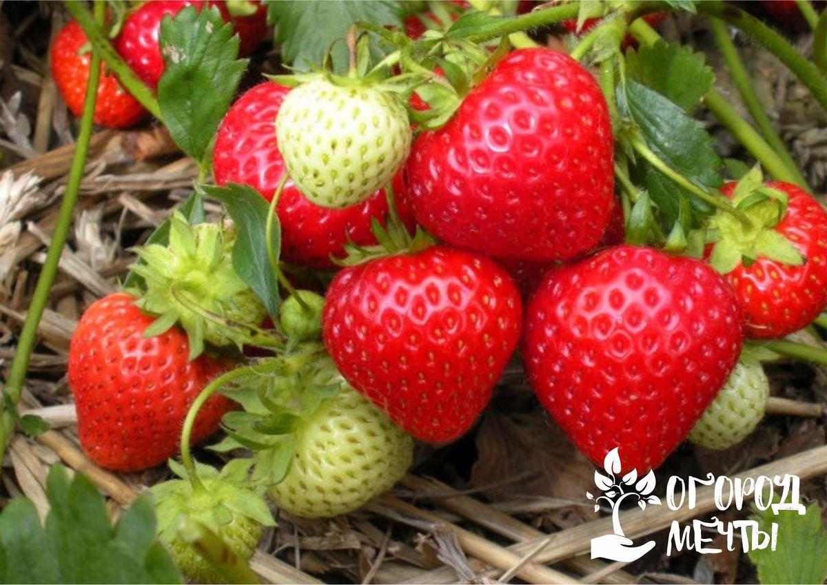 Чем подкормить ягодные грядки в сентябре