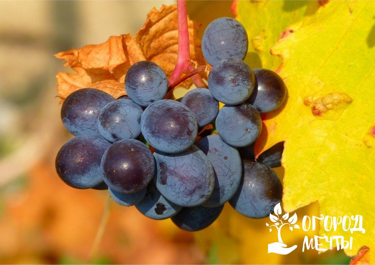 Чтобы виноград порадовал урожаем, нужно обеспечить ему правильный уход осенью! Как правильно подготовить виноград к успешной зимовке