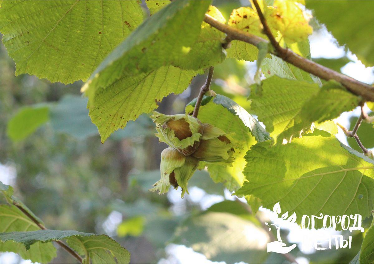 Хотите вырастить фундук на дачном участке? Раскрываем все секреты выращивания самого вкусного ореха!