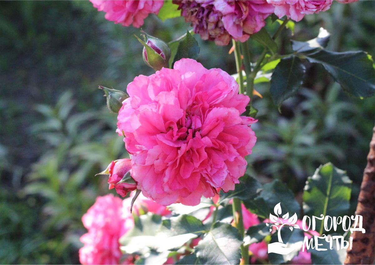 Как эффективно омолодить розы на клумбе? Используйте это копеечное средство!