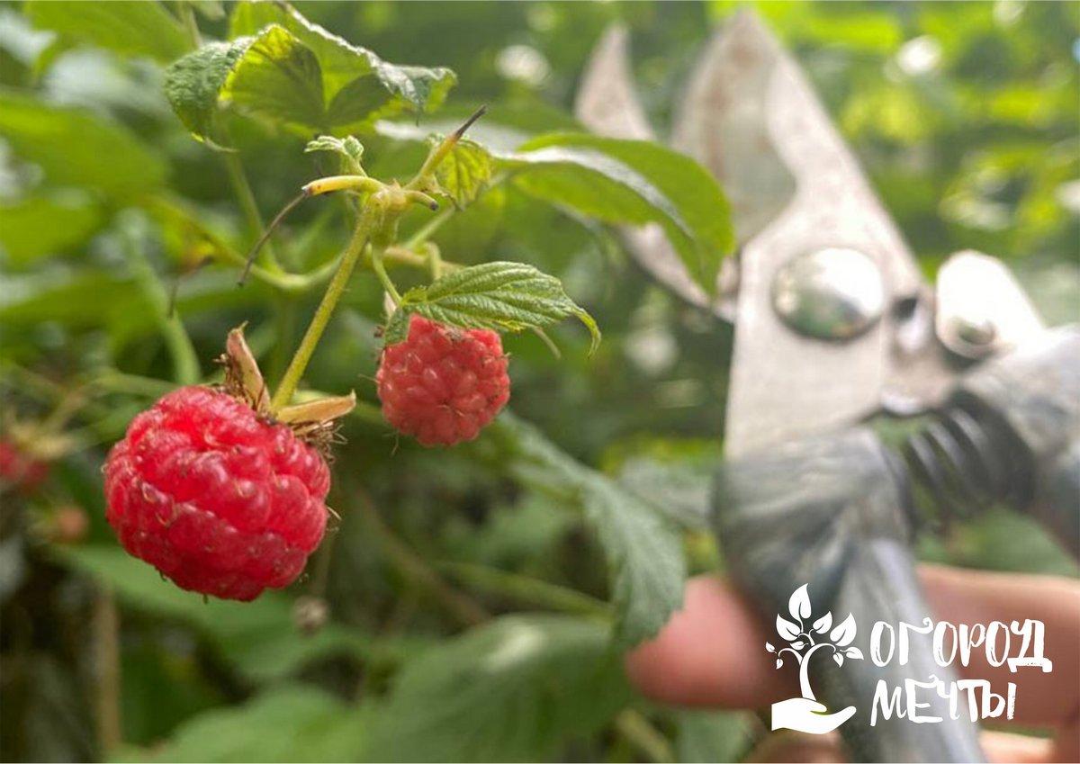 Как ухаживать за малиной в сентябре, чтобы она порадовала урожаем летом: инструкция для садовода