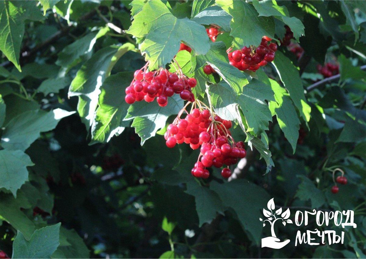 Самое красивое лечебное растение для дачного участка - калина! Кустарник, который украсит дачу и весной, и осенью!