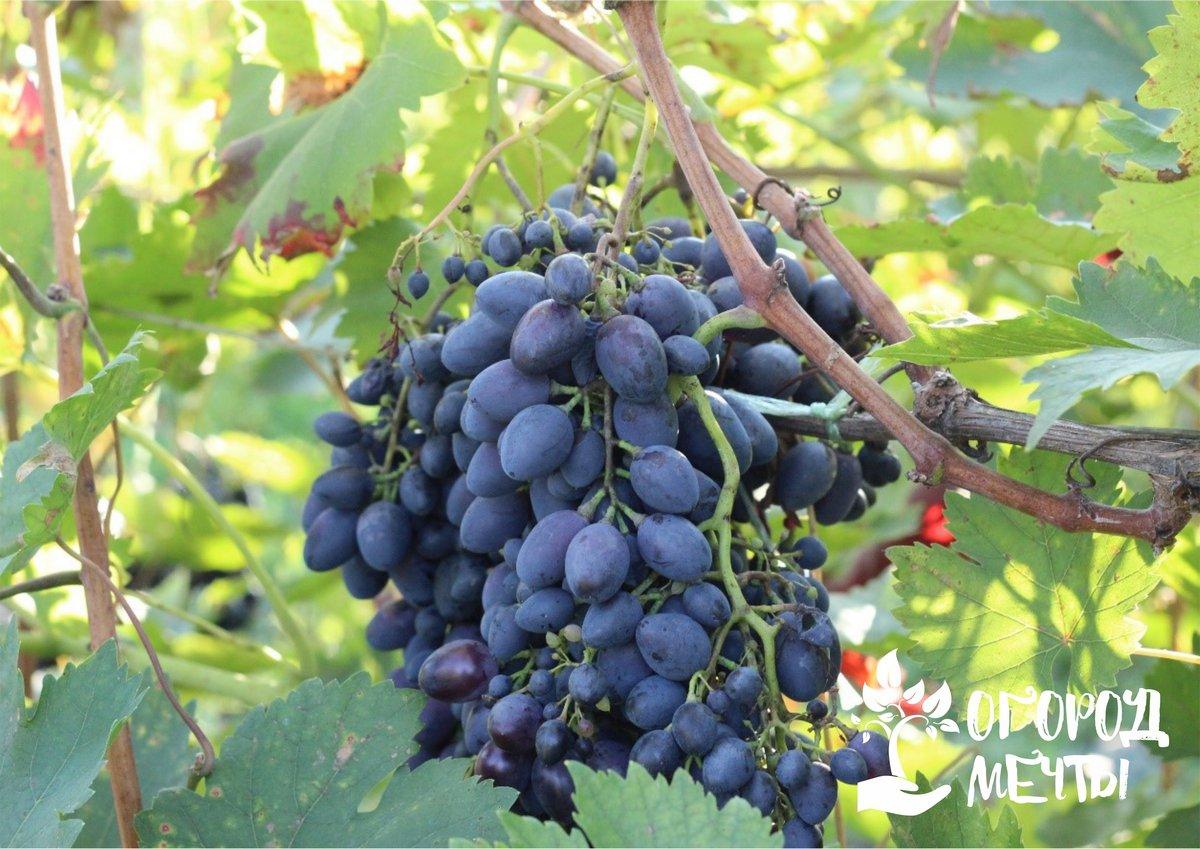 Виноград сохнет и не созревает? Возможно, дело в этих болезнях и вредителях!