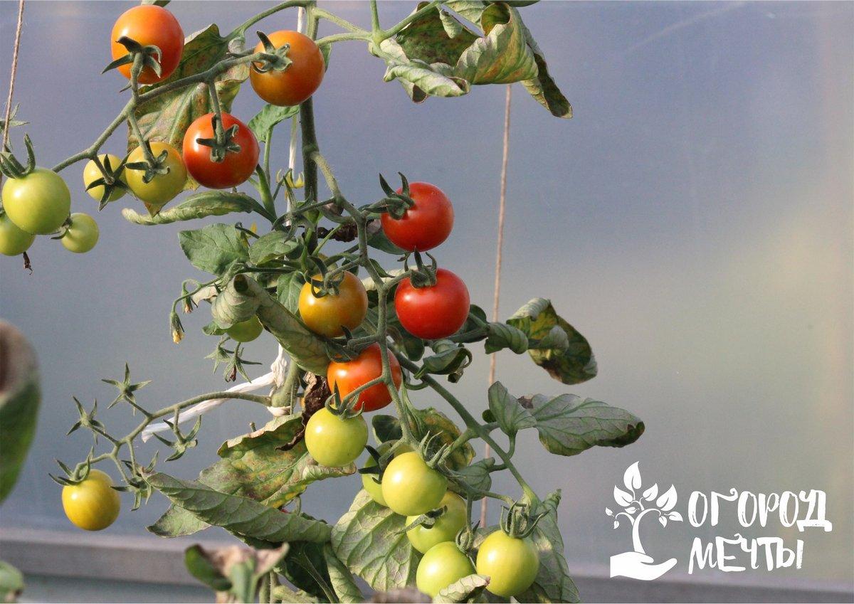 •Подкормки. Чтобы получать урожай высокого качества и наслаждаться томатами осенью