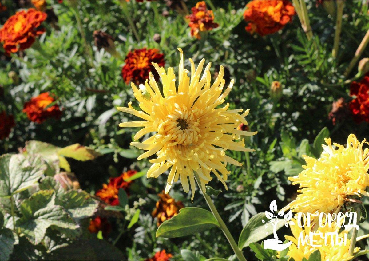 Хотите, чтобы хризантемы пышно и долго цвели на клумбе? Обеспечьте многолетним цветам правильный уход осенью!