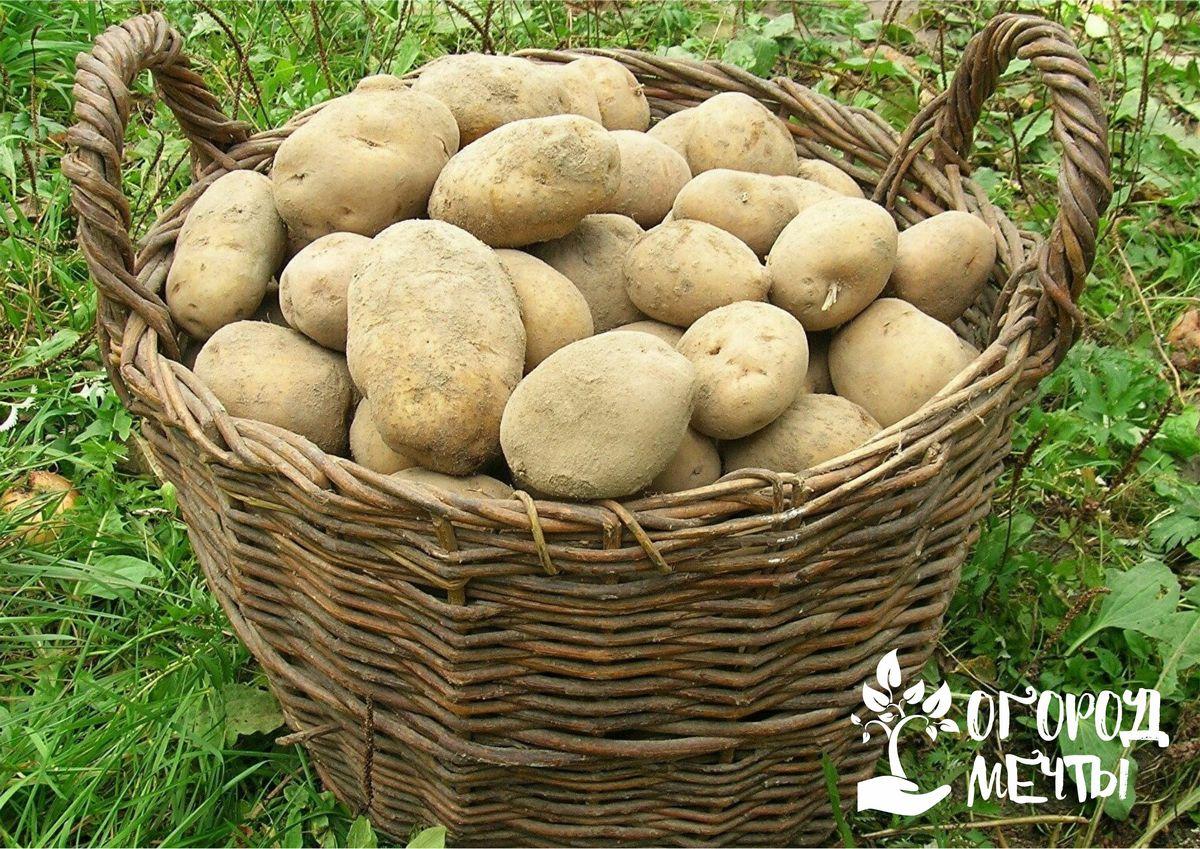 Альтернативные способы выращивания картофеля: топ-8 вариантов