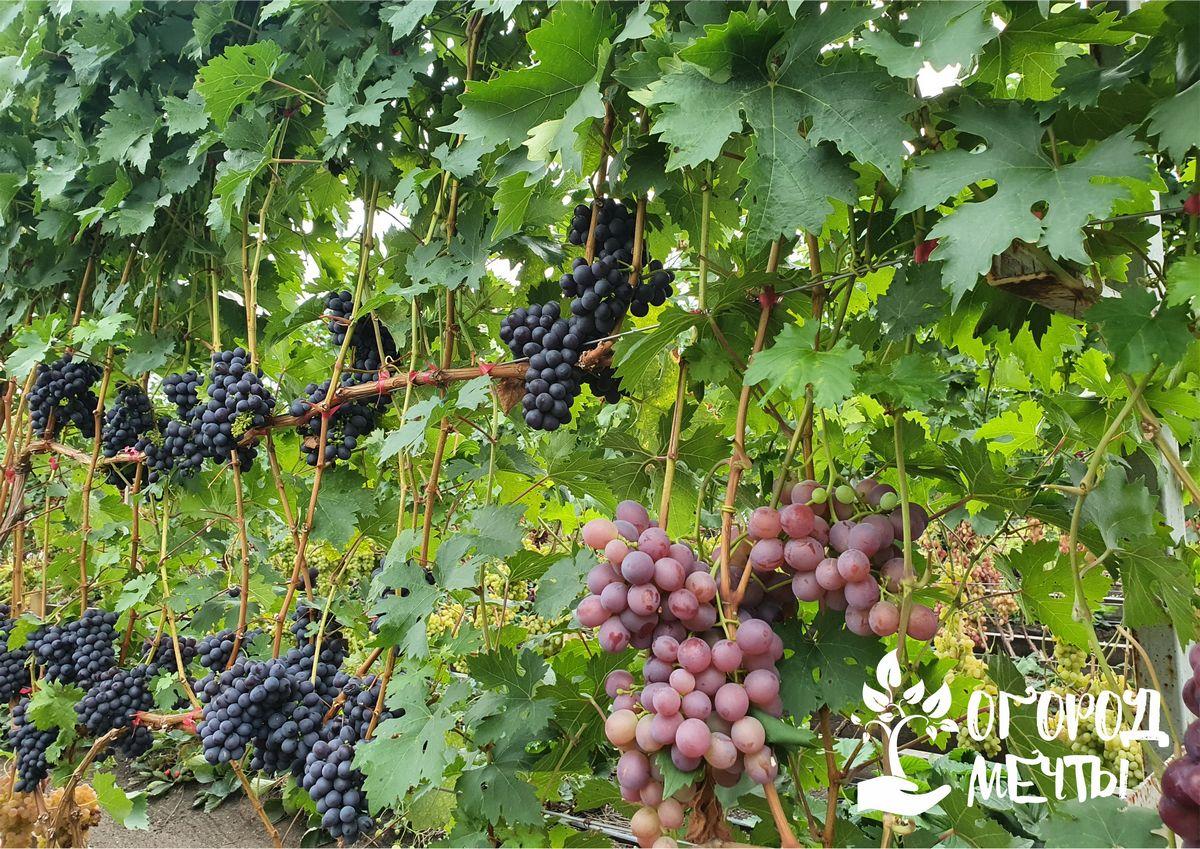 Как вырастить виноград в своем саду? Раскрываем все секреты