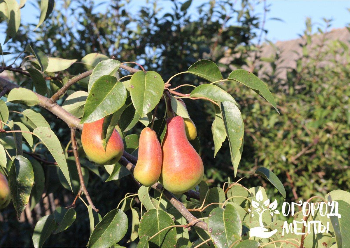 Сладкие, сочные и просто красивые! Девять лучших сортов груш, которые нужны в саду каждому дачнику!