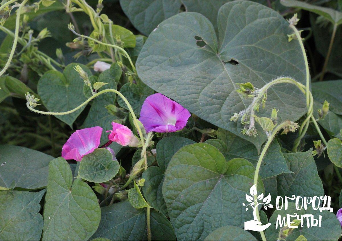 Плетистая ипомея - самая неприхотливая садовая лиана, которая покорит вас своей красотой!