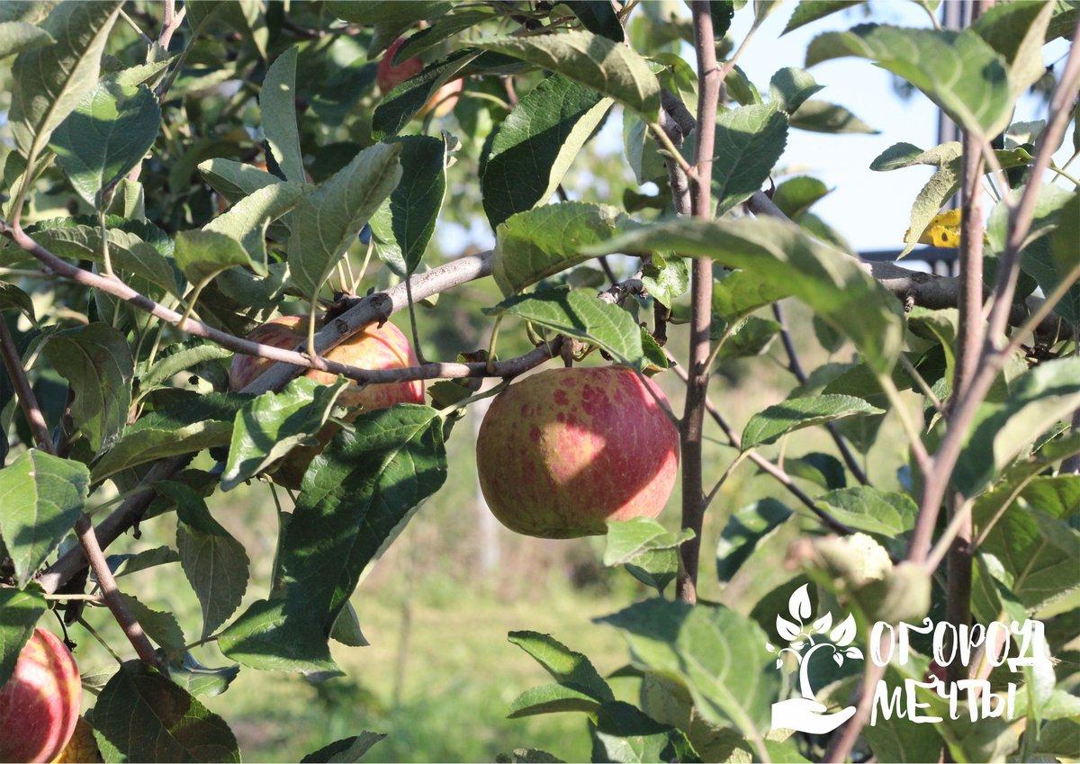 Как подготовить садовые яблони к зиме: список самых важных мероприятий, который пригодится каждому садоводу!