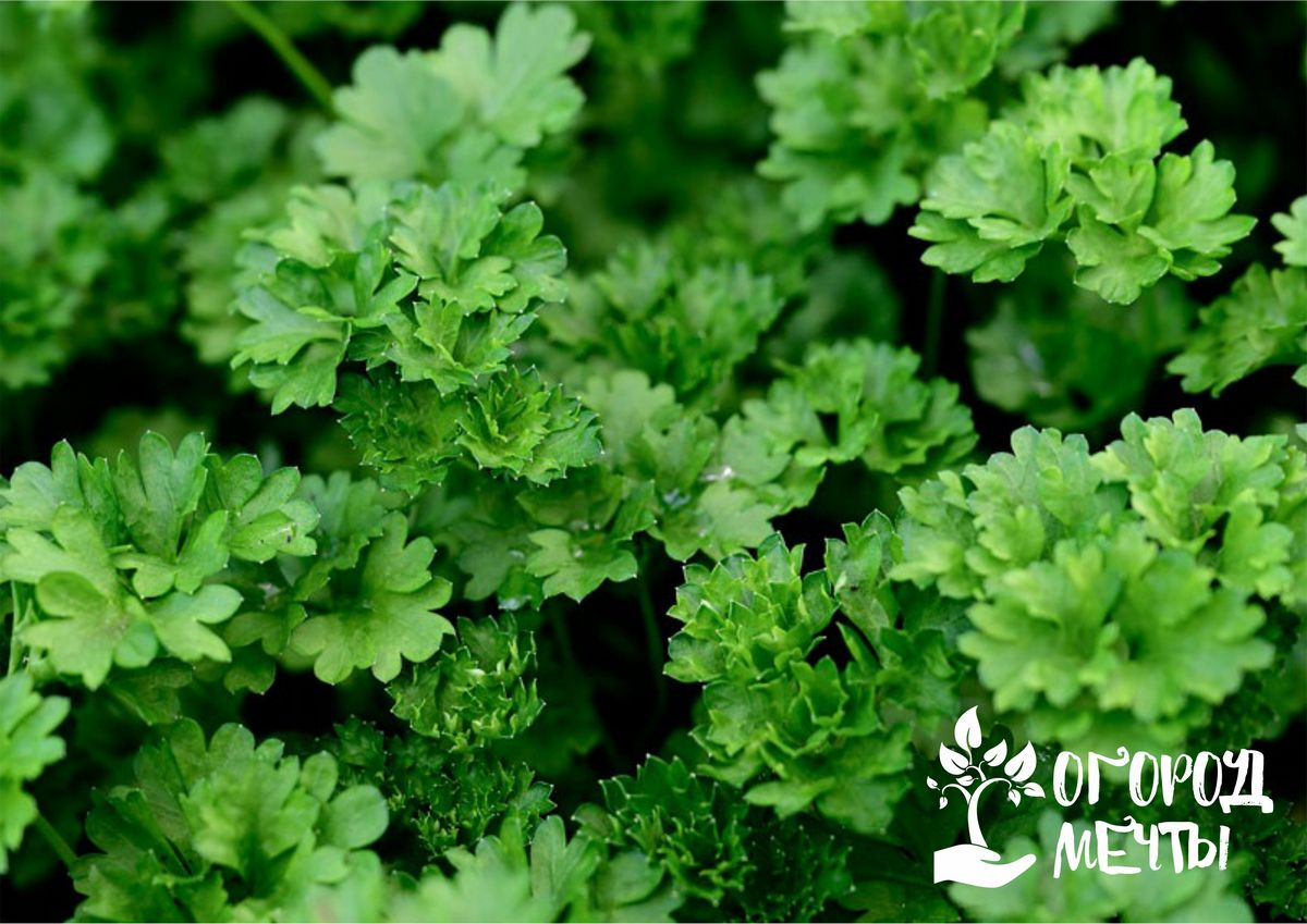 Чтобы наслаждаться сочной зеленью ранней весной, обязательно посейте на огороде эти сорта петрушки под зиму!