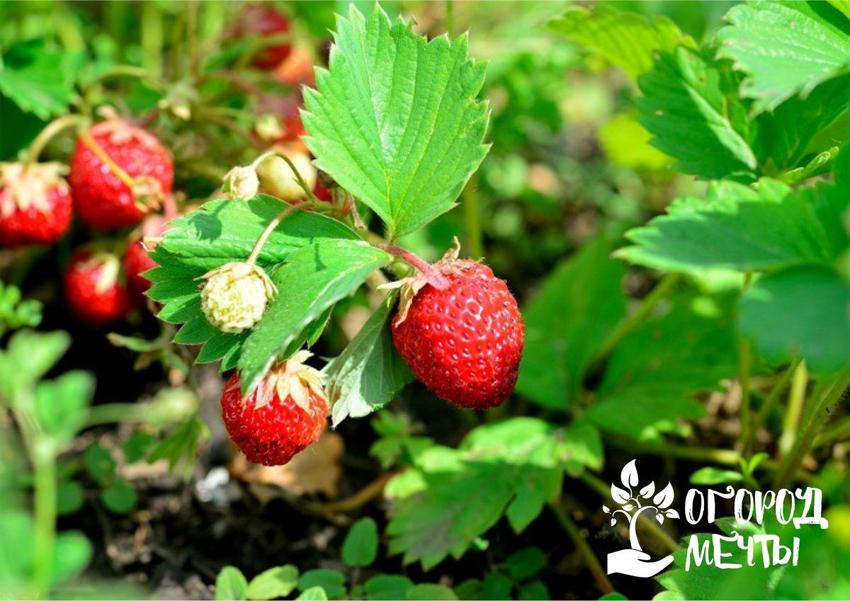Наступил сентябрь - пора подкармливать клубнику! Как и чем удобрять клубнику в начале осени, чтобы получить хороший урожай сочных ягод весной