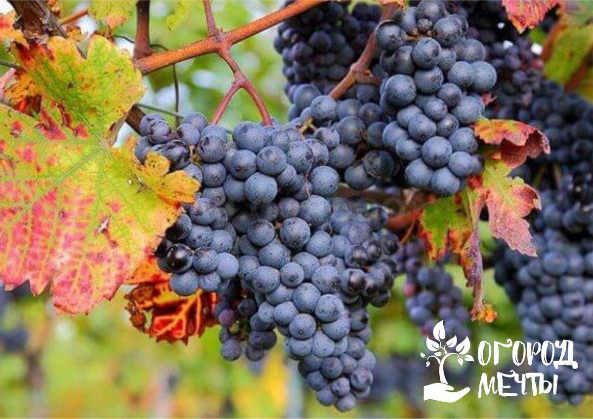 Осенний уход за виноградником: четыре важных мероприятия