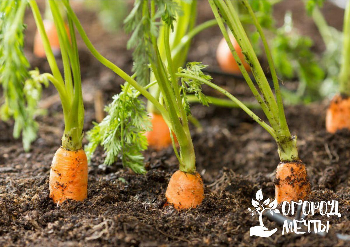 Лучшие сорта холодостойкой моркови