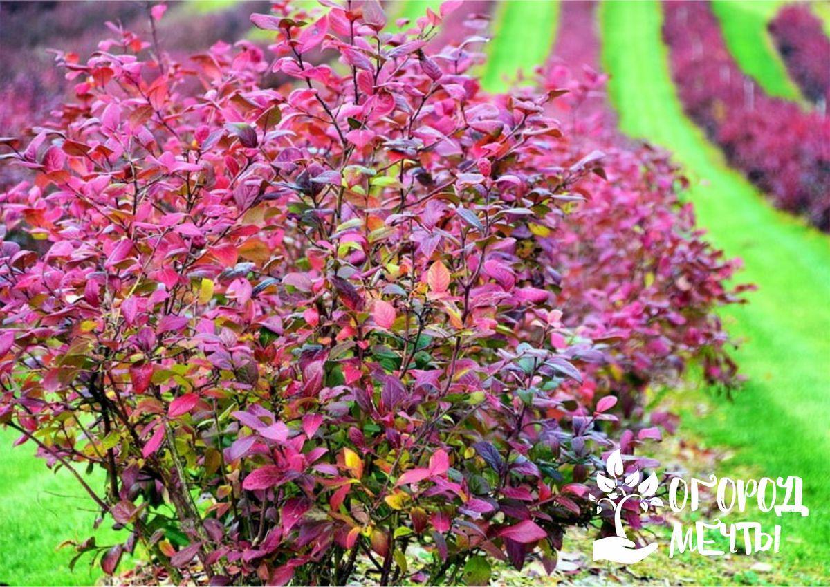 Чтобы декоративные кустарники пышно зацвели весной, обеспечьте им правильный и комплексный уход в сентябре!