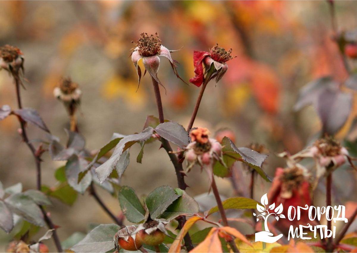 Чтобы розы не погибли на клумбе зимой, нужно подготовить их к морозам с осени!