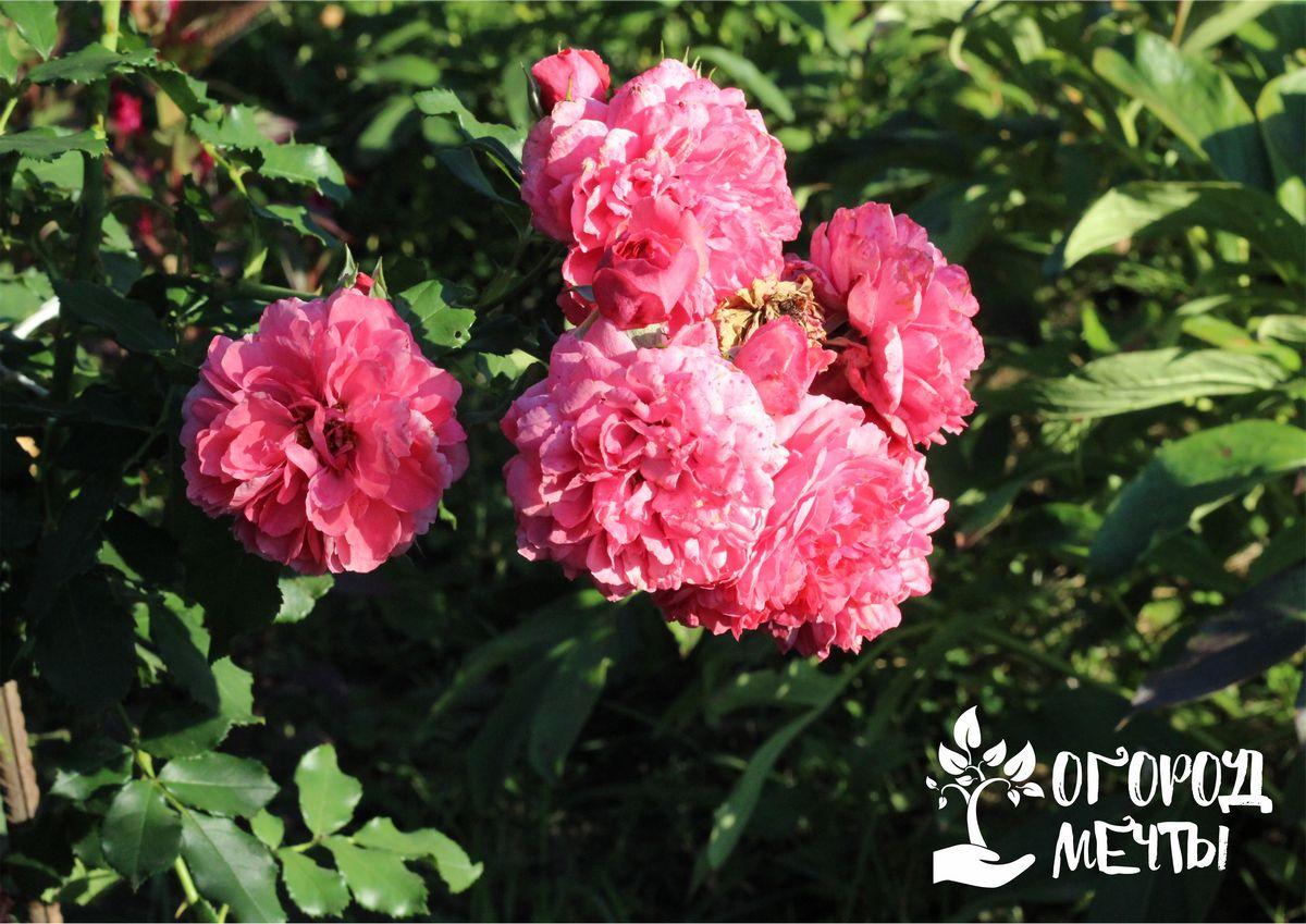 Как омолодить розы с помощью соды