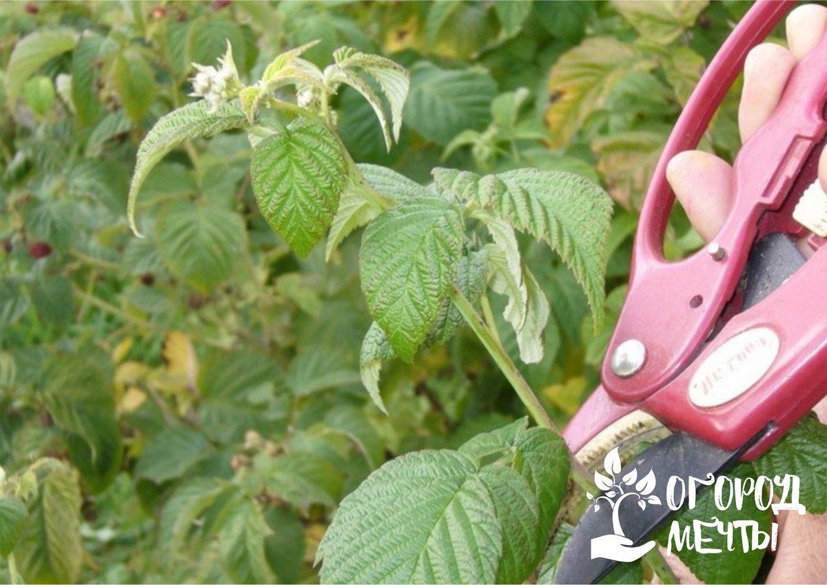 Уход за малинником в сентябре: основные этапы