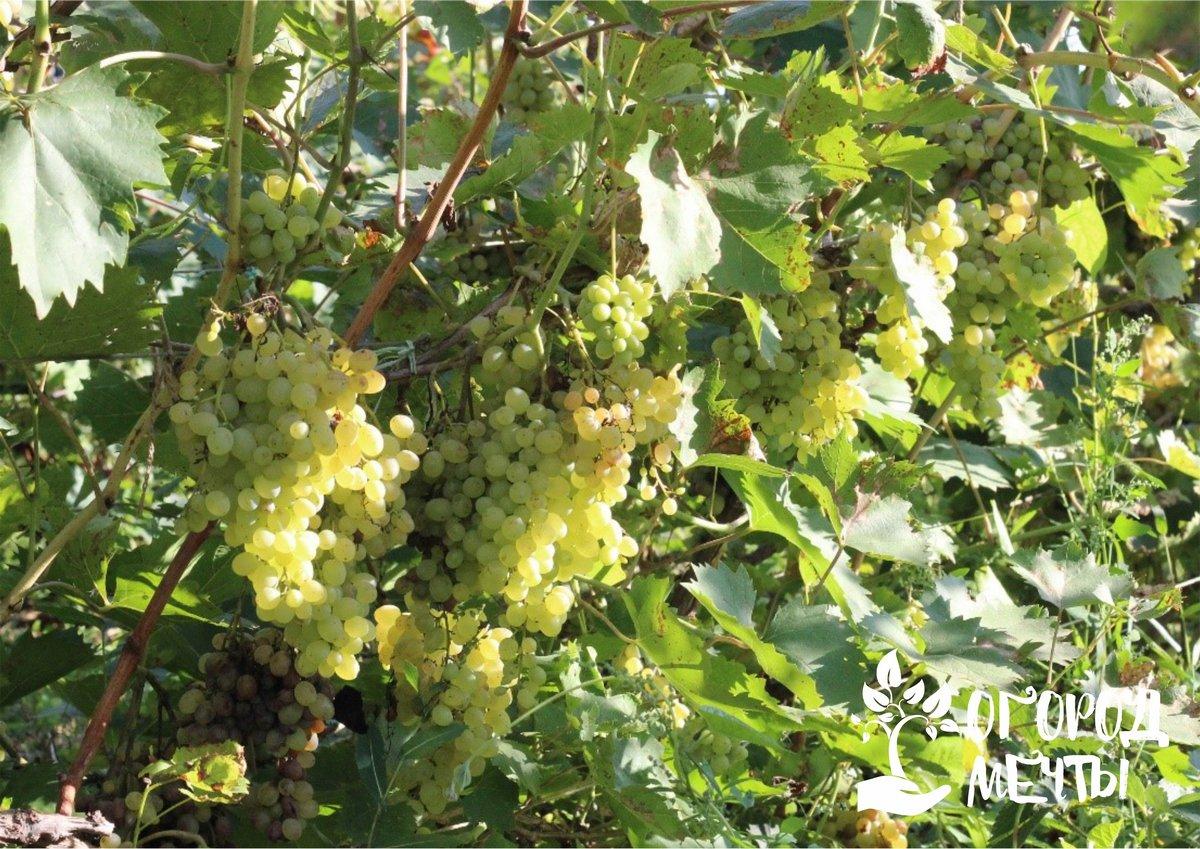 Усыхает виноград: топ-3 распространенных причины