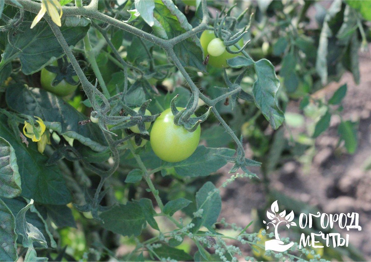 Как продлить уборку урожая томатов: секреты и основные нюансы