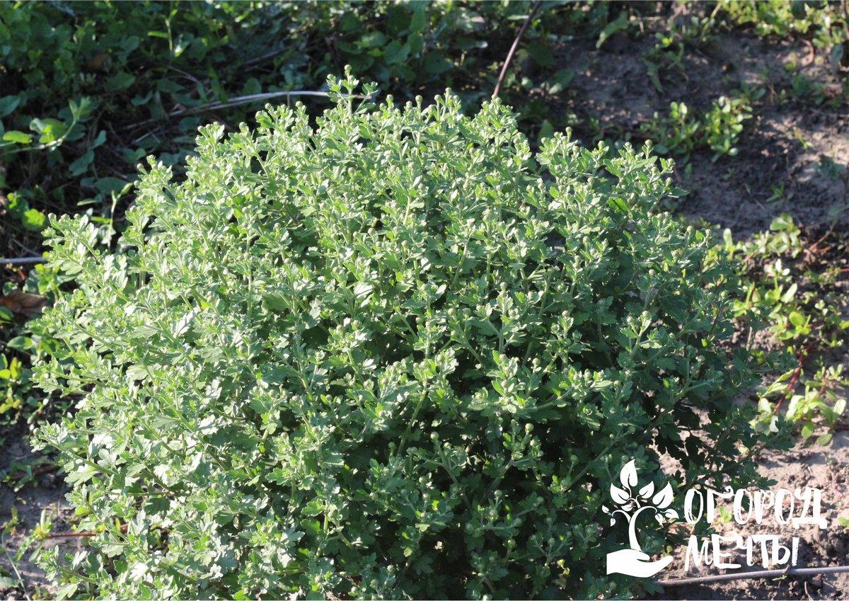 Осенний уход за кустовой хризантемой: основные этапы