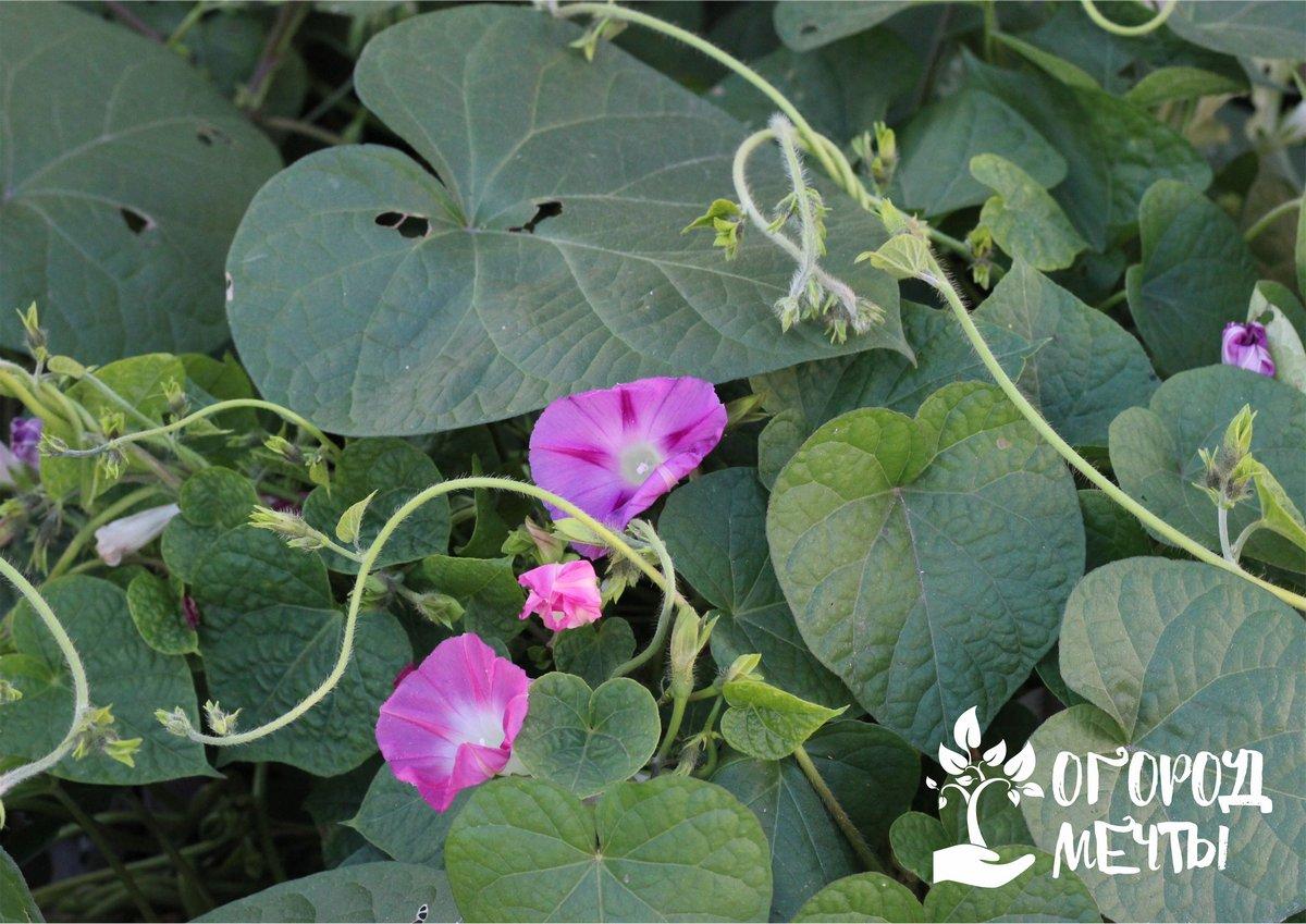 Как вырастить садовую ипомею
