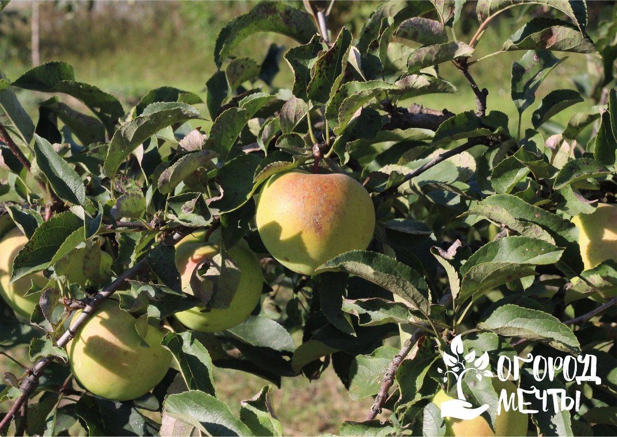 Как нужно готовить яблони к зимовке