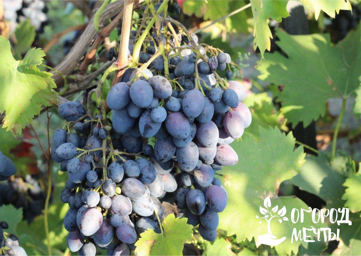 Зная о таких причинах усыхания ягод, вы сможете предотвратить поражение виноградной лозы и насладиться отменным урожаем