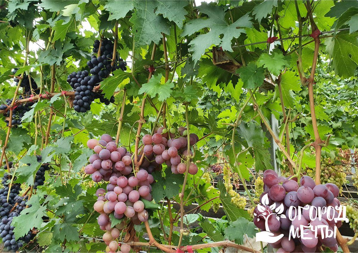 ● Сорта черного винограда