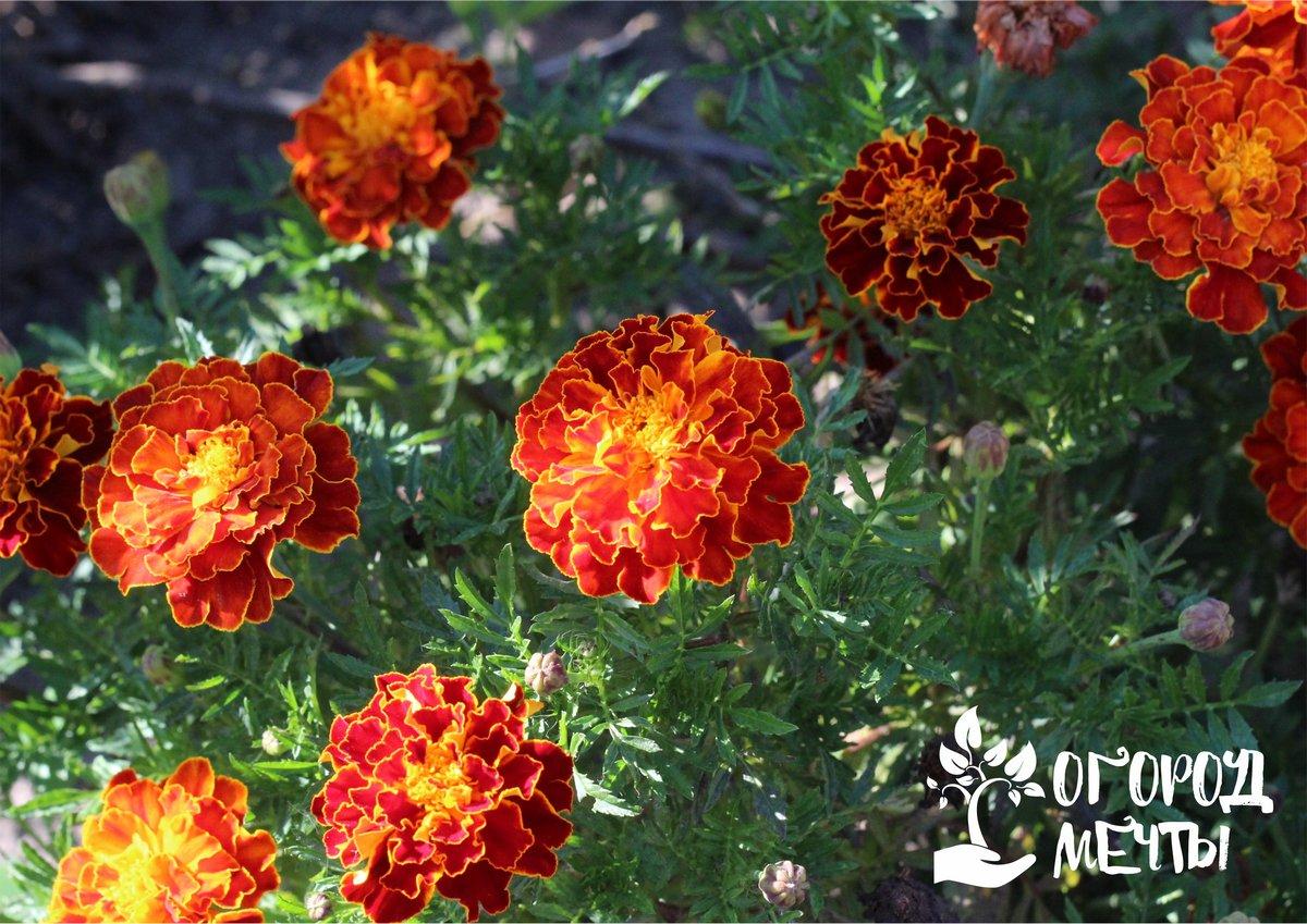 Собирать семена лучше всего со здоровых и довольно крупных цветочков