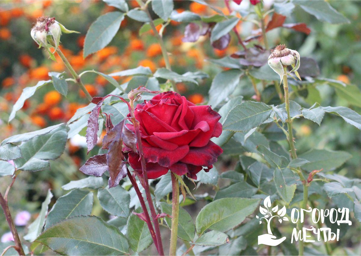 Перед тем, как проводить обработку кустов розы на клумбе, обязательно нужно осмотреть растение