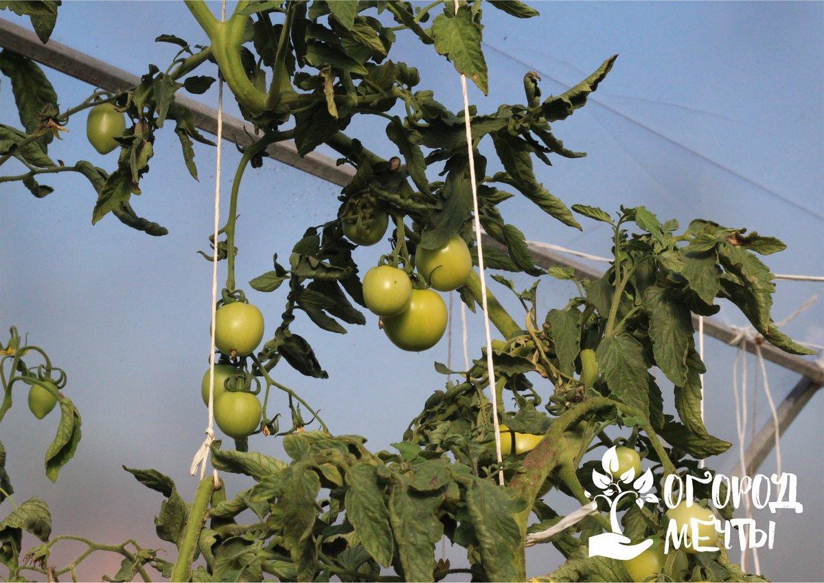 Когда томаты активно плодоносят