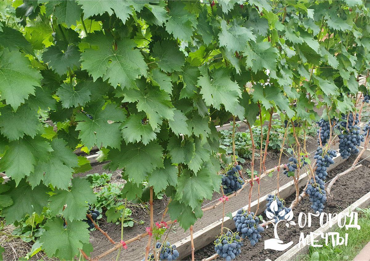 Когда нужно сажать виноград