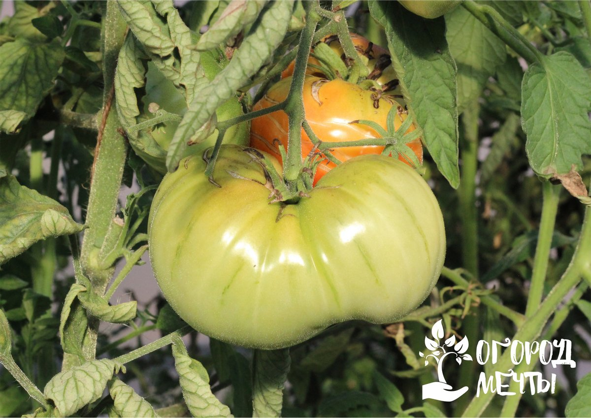 Также на урожайности томатов сказываются и другие уходовые процедуры в осенний период