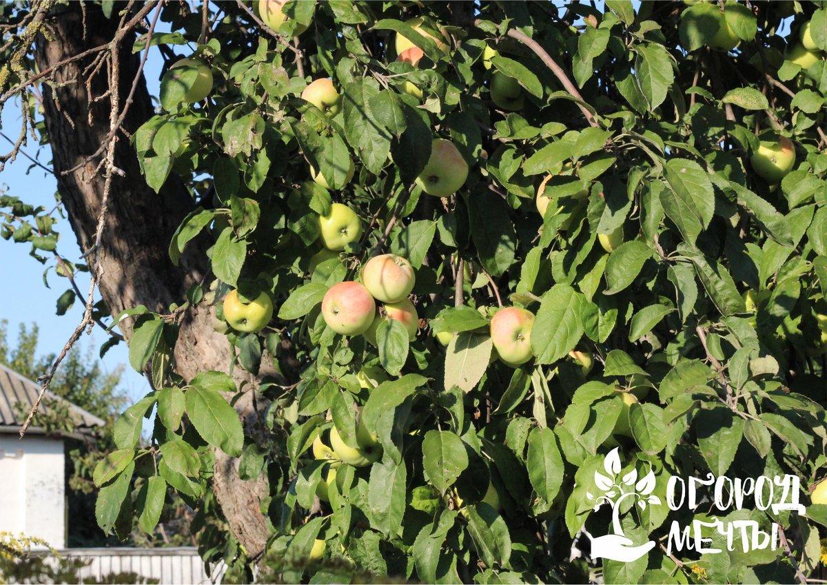 Эти процедуры помогут яблоням успешно перезимовать в саду и порадовать урожайностью в следующем сезоне