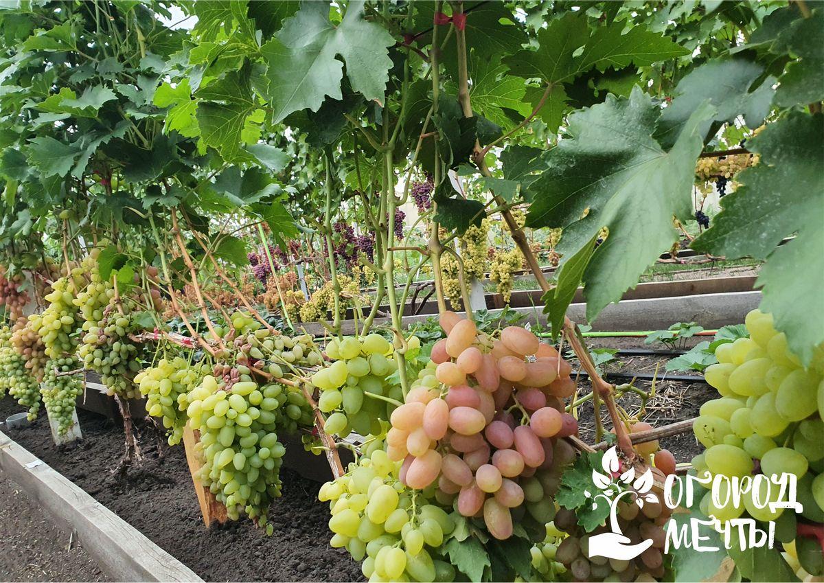 Как подготовить виноград к зиме