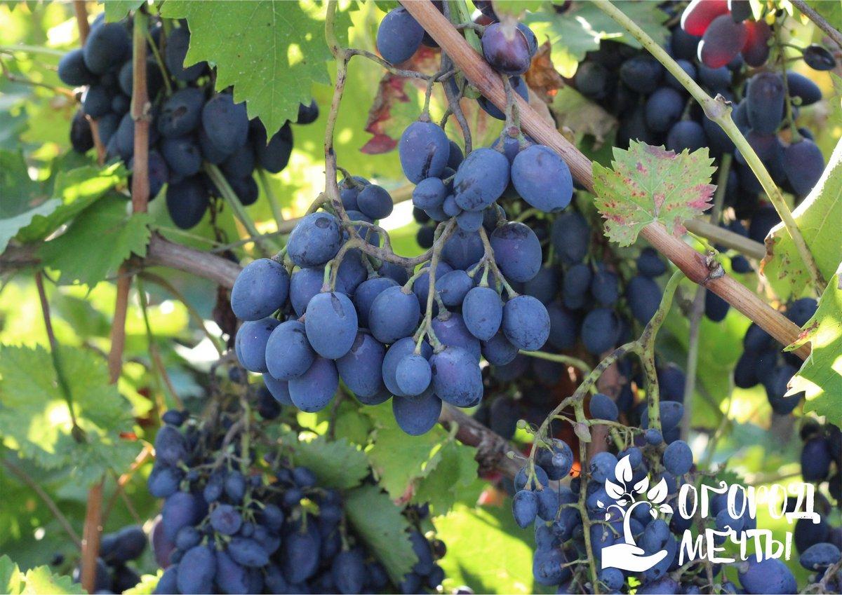 Как подготовить виноград к зиме правильно: укрываем виноградную лозу без лишних хлопот!