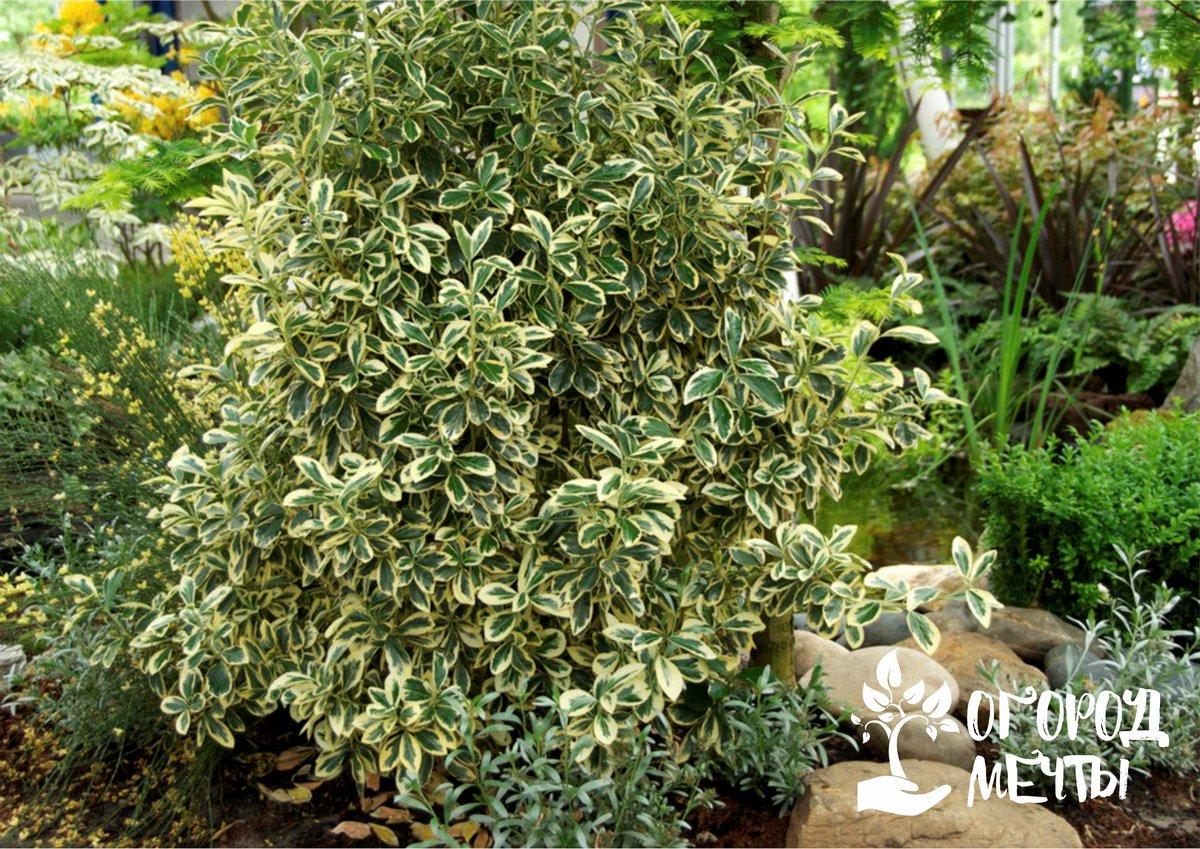 Топ-5 зимнелистных растений для красивой дачи