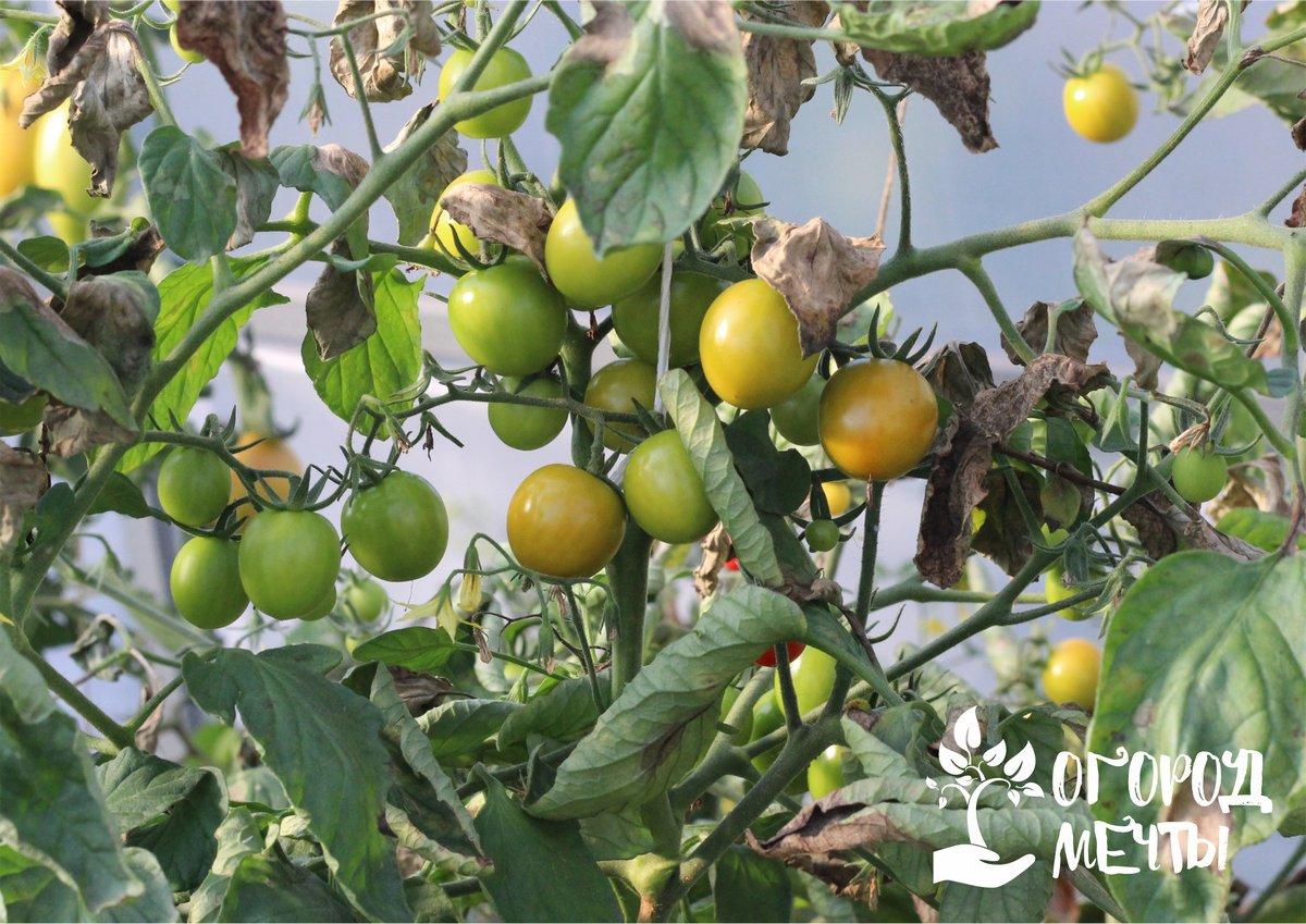 Причины растрескивания помидоров