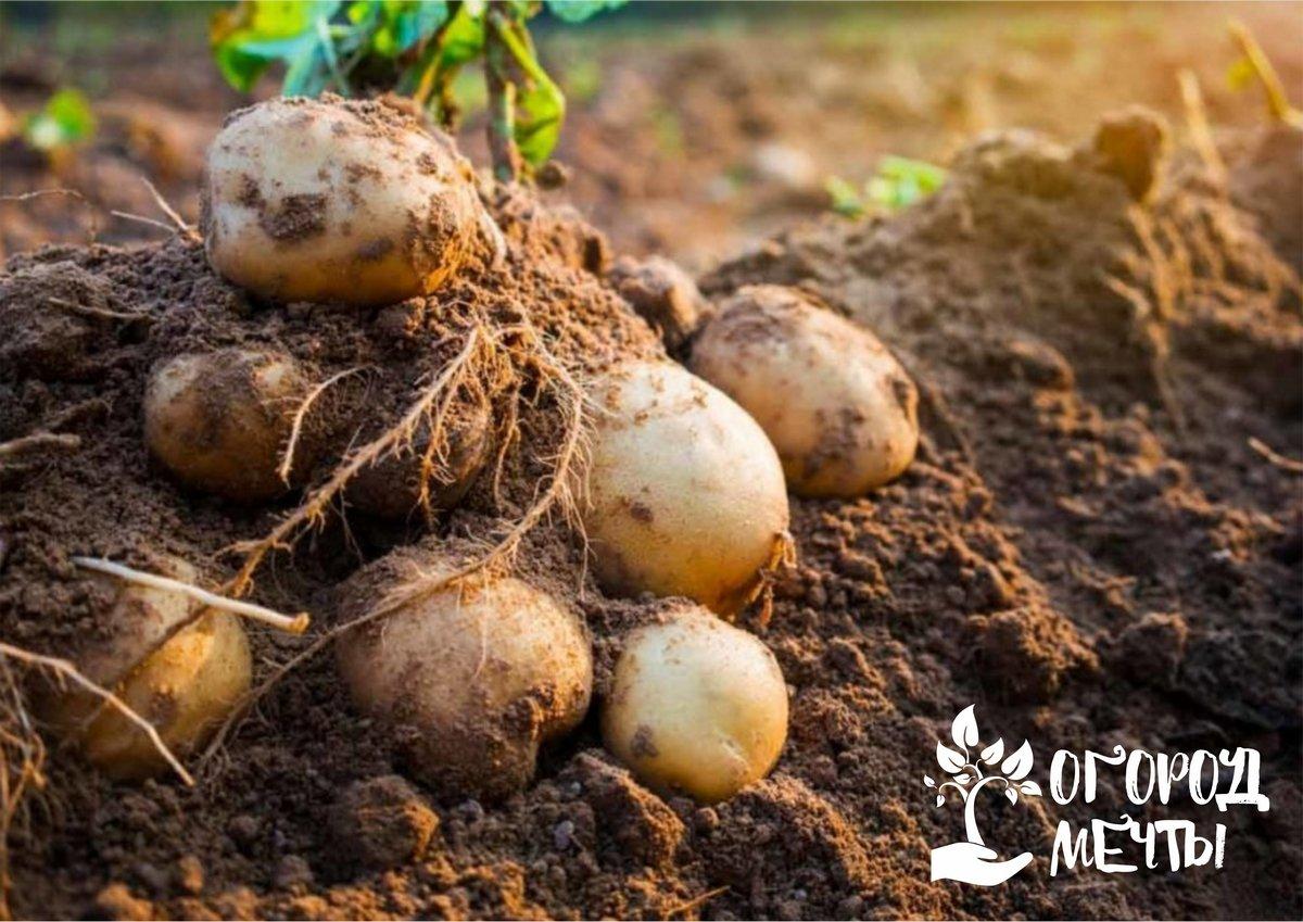 Топ-7 сортов вкусной картошки