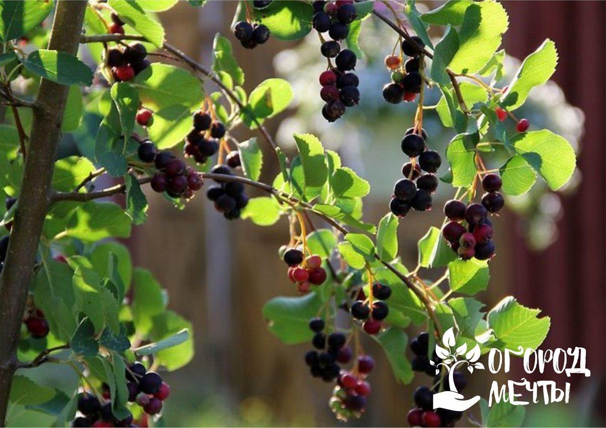 Полезный плодовый кустарник: ирга - мастхэв для каждого дачника!