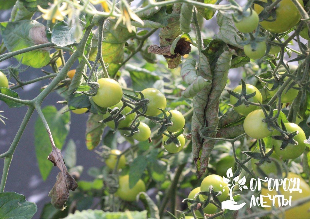 Трещины, которые появляются на томатах, уже делают плоды непригодными для транспортировки, консервирования и хранения