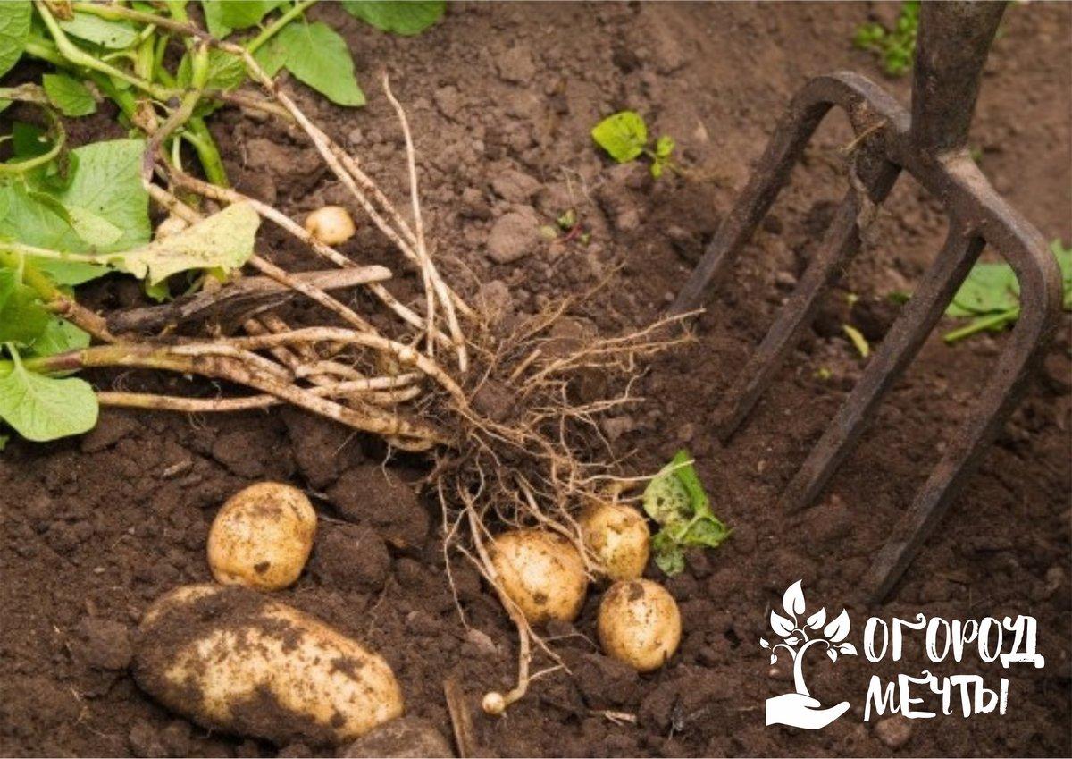 Эти сорта картофеля удивят вас своим вкусом! Семь лучших сортов урожайной и вкусной картошки