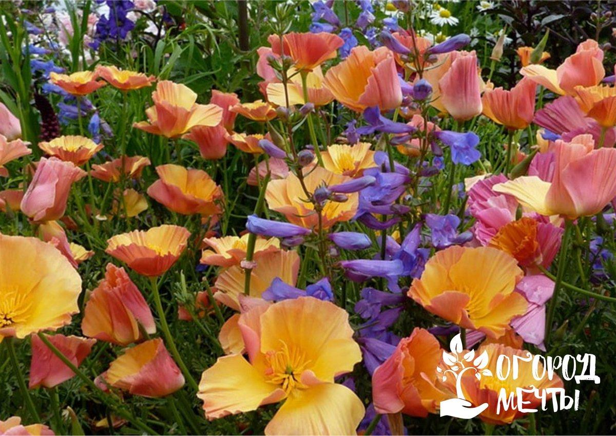 Изящная эшшольция - самый нежный и утонченный цветок, который преобразит любую клумбу!