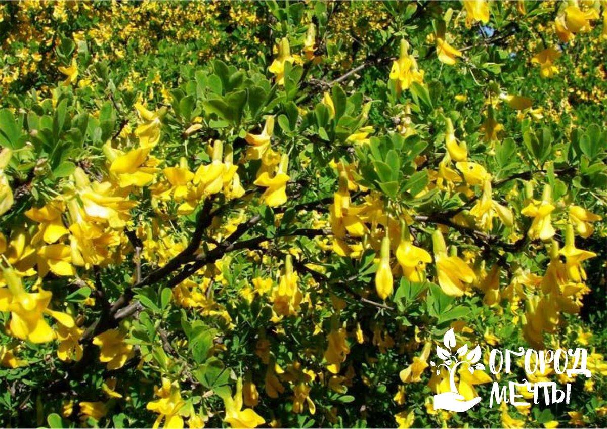 Как вырастить красивую карагану в саду